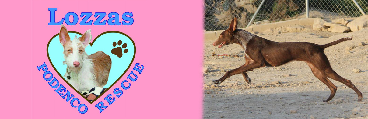 Welcome to Lozzas Podenco Rescue – based in Hertfordshire